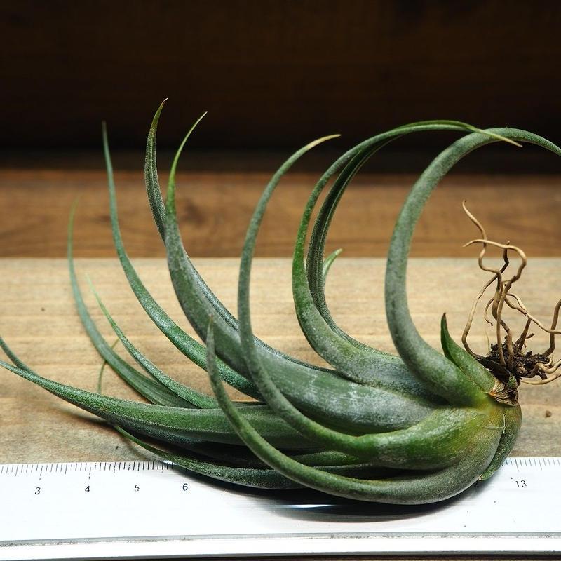 チランジア / パウシフォリア (T.paucifolia) *A01/M25