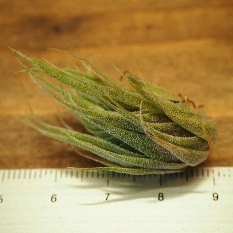 チランジア / スプレンゲリアナ (T.sprengeliana) ★1/5更新