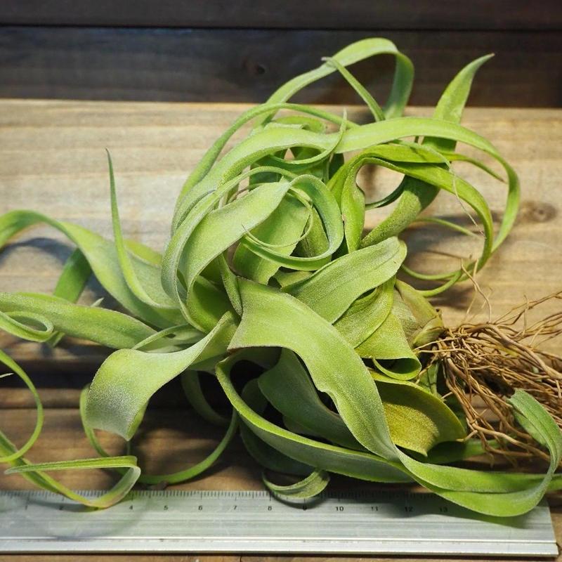 チランジア / ストレプトフィラ カーリータイプ (T.streptophylla)