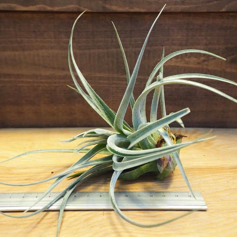 チランジア / レクルヴィフォリア × ガルドネリー (T.recurvifolia × T.gardneri) *A02/Ju14