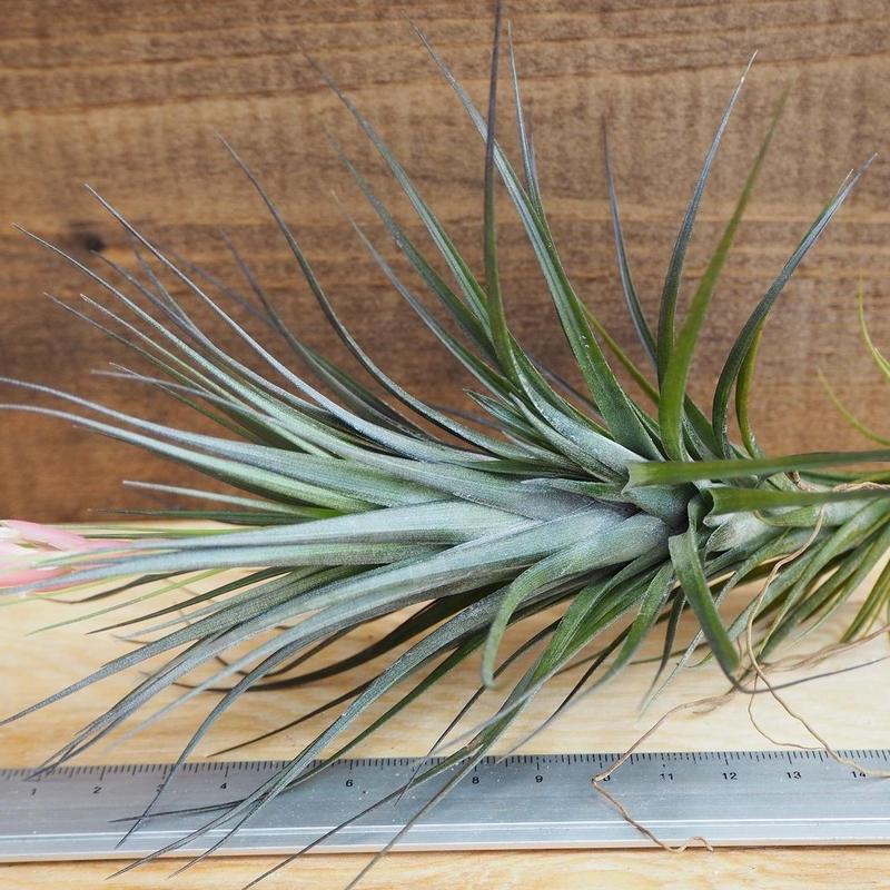 チランジア / テヌイフォリア アメシスト Lサイズ (T.tenuifolia var. amethyst) *A02/J12