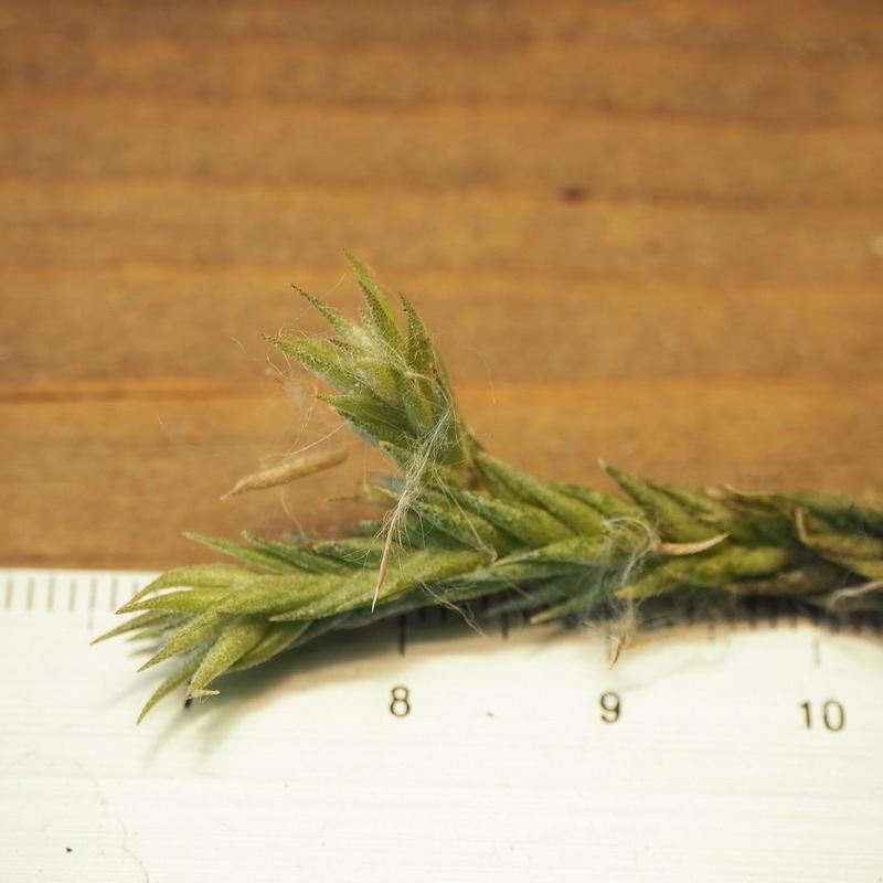 チランジア / ペディセラータ (T.pedicellata)