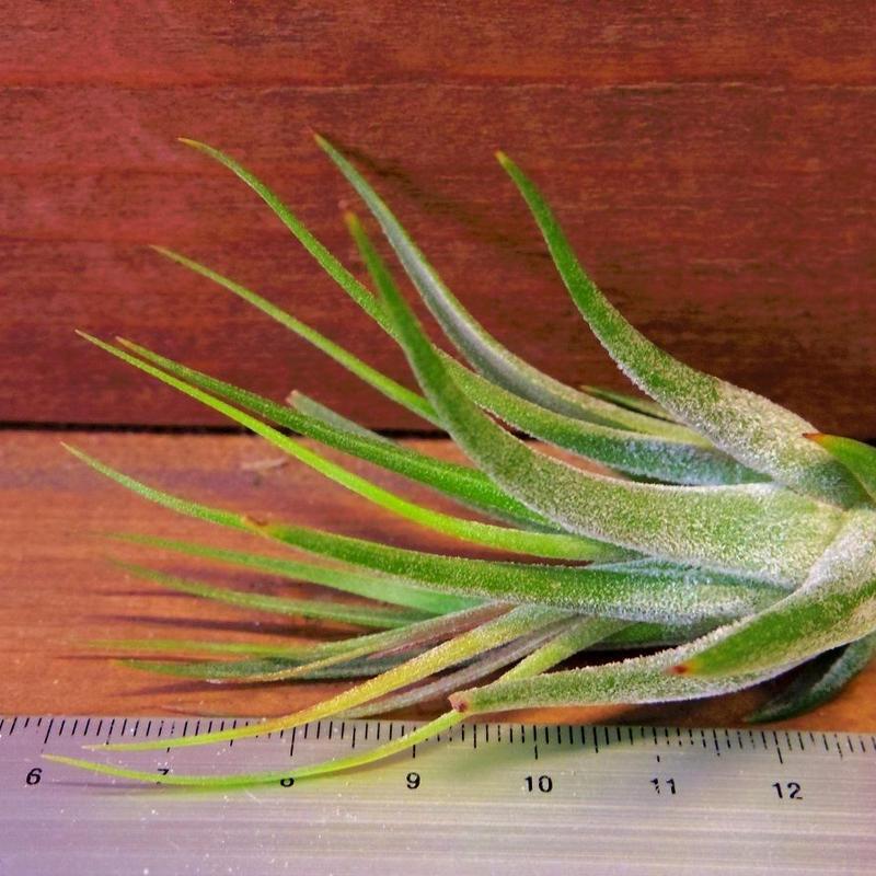 チランジア / コルビー (T.kolbii)