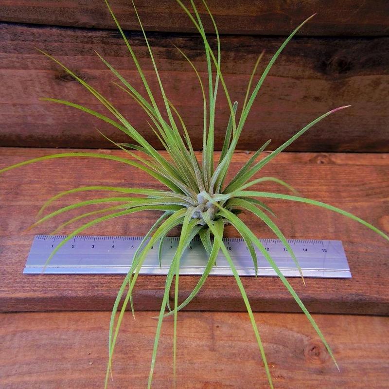 チランジア / イオナンタ ロシータ × マグヌシアナ (T.ionantha 'Rosita' × T.magnusiana)