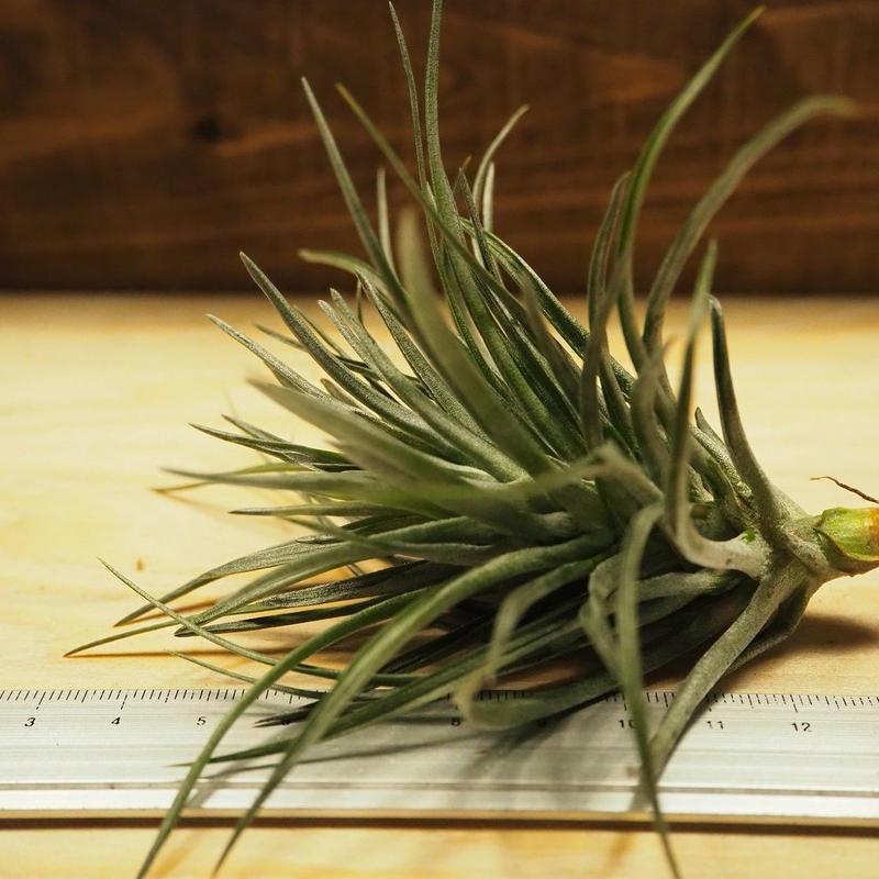チランジア / ストリクタ グリーンゴッドレス (T.stricta 'Green Goddess') *A02/J07