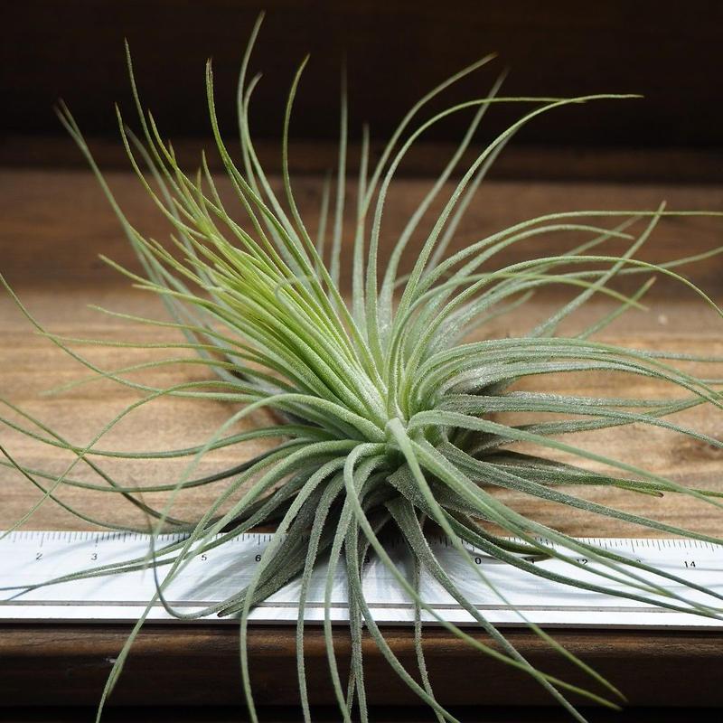 チランジア / マグヌシアナ (T.magnusiana)