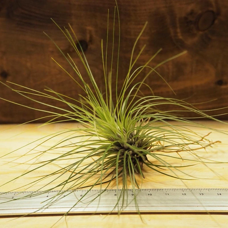 チランジア / フィリフォリア (T.filifolia) *A02/J03
