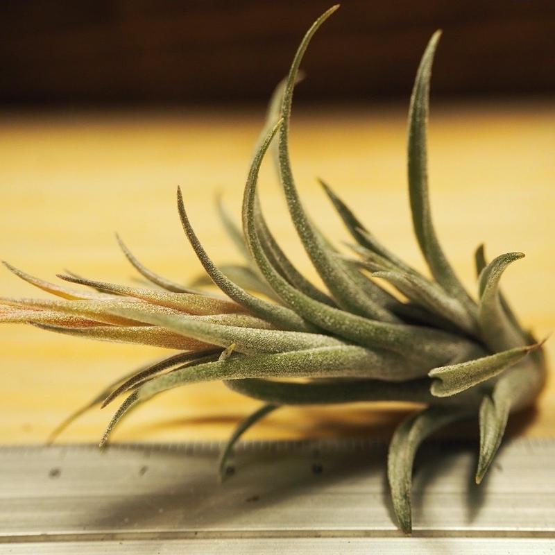 チランジア / スークレイ (T.sucrei) *A02/J07-03