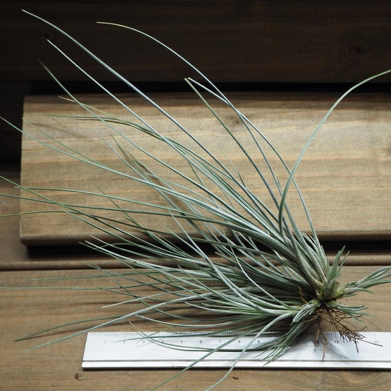 チランジア / カエトフィラ CL (T.chaetophylla)