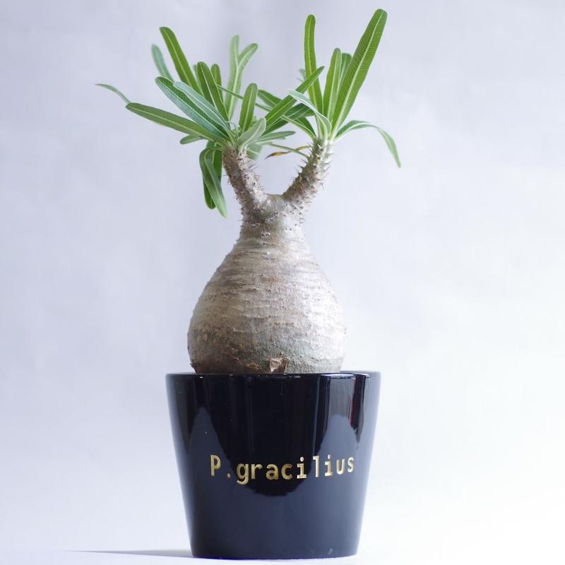パキポディウム グラキリス Pachypodium gracilius