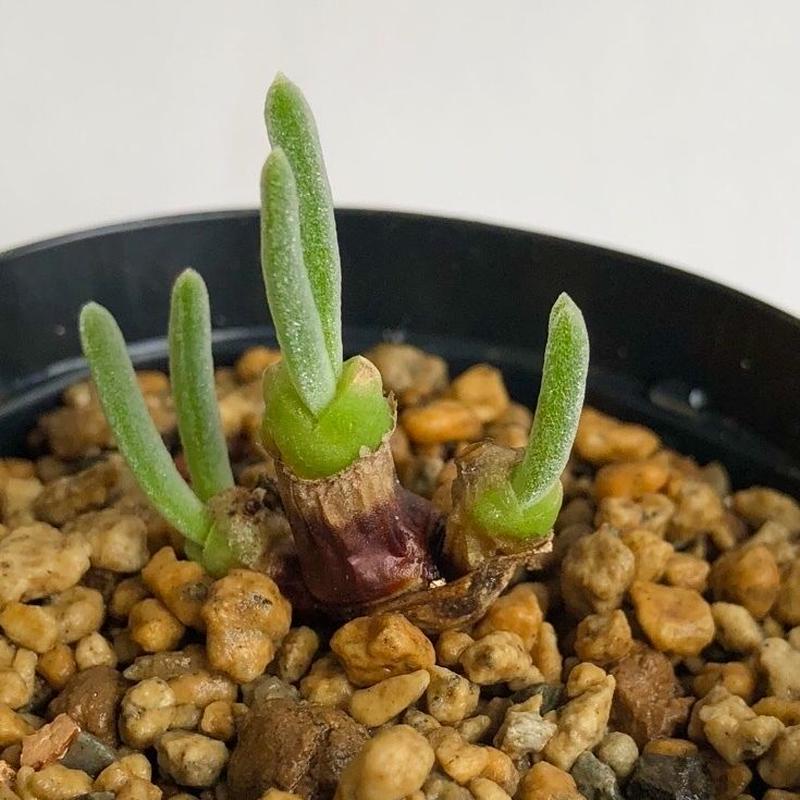 033.モニラリア モニリフォルミス Monilaria moniliformis