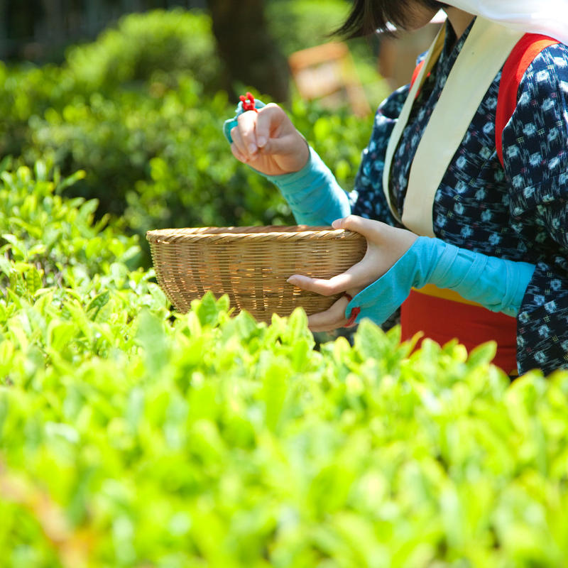 お茶摘み体験 4時間(案内料金)