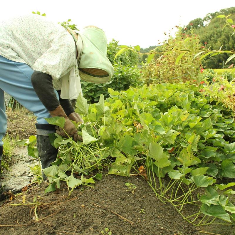 【8/22収穫】田舎のやさいセット [1箱だけお届け] 送料込み