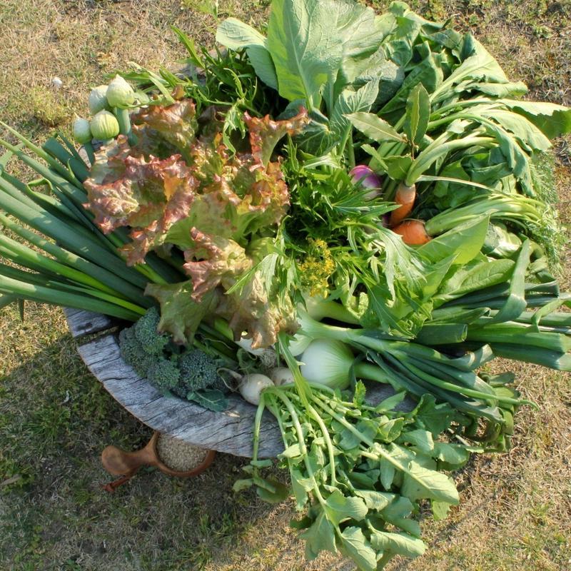 現在の主な収穫野菜リスト
