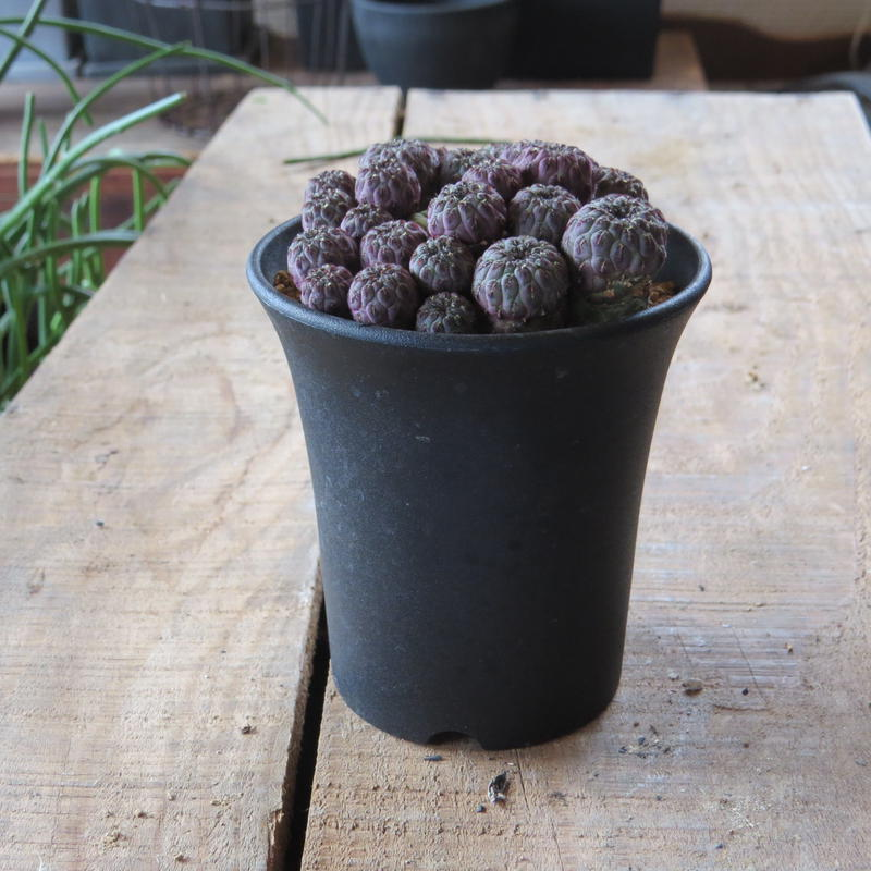 スルコレブチア属 紫ラウシー