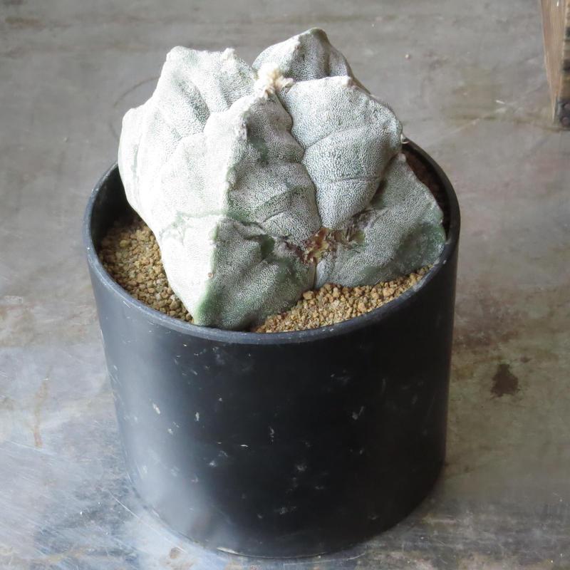 アストロフィツム属 肋骨四角鸞鳳玉