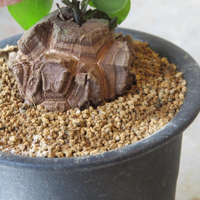 ディオスコレア属 亀甲竜