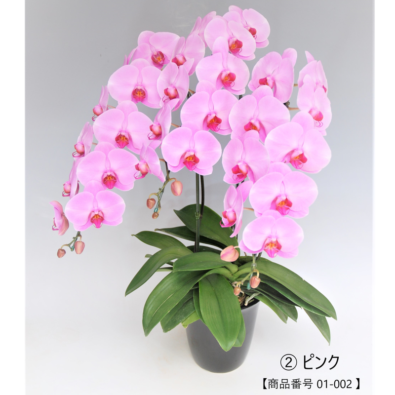 【スタンダード】大輪胡蝶蘭  3本立て   =ピンク=