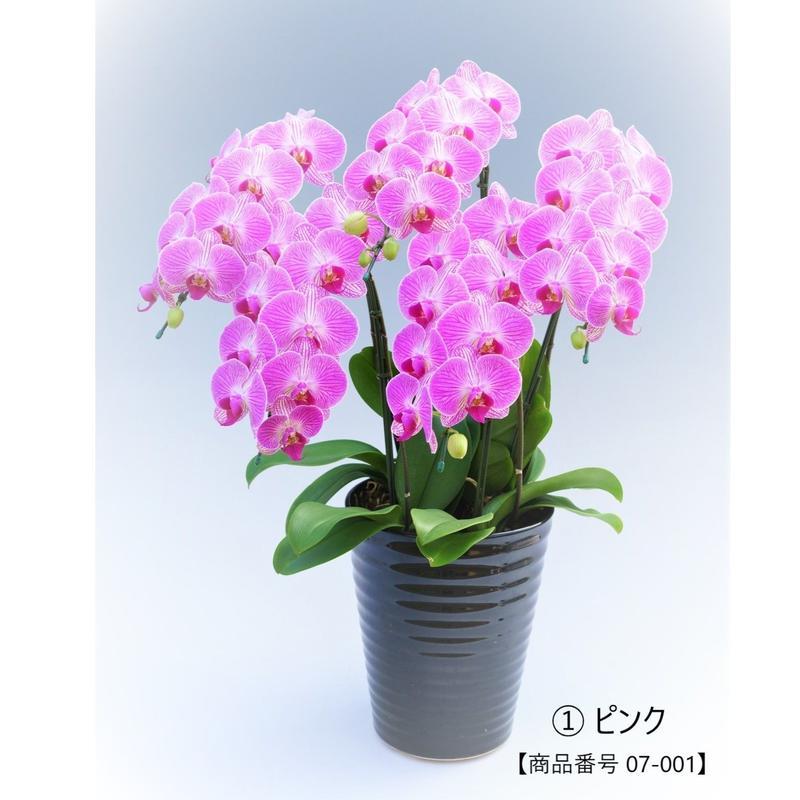 【中輪系】ミディ胡蝶蘭5本立て     =ピンク系=