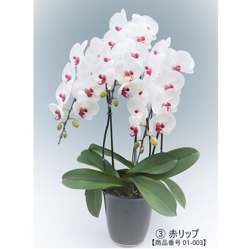 【スタンダード】大輪胡蝶蘭  3本立て   =赤リップ=