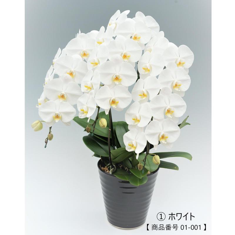【スタンダード】 大輪胡蝶蘭  3本立て   =ホワイト=