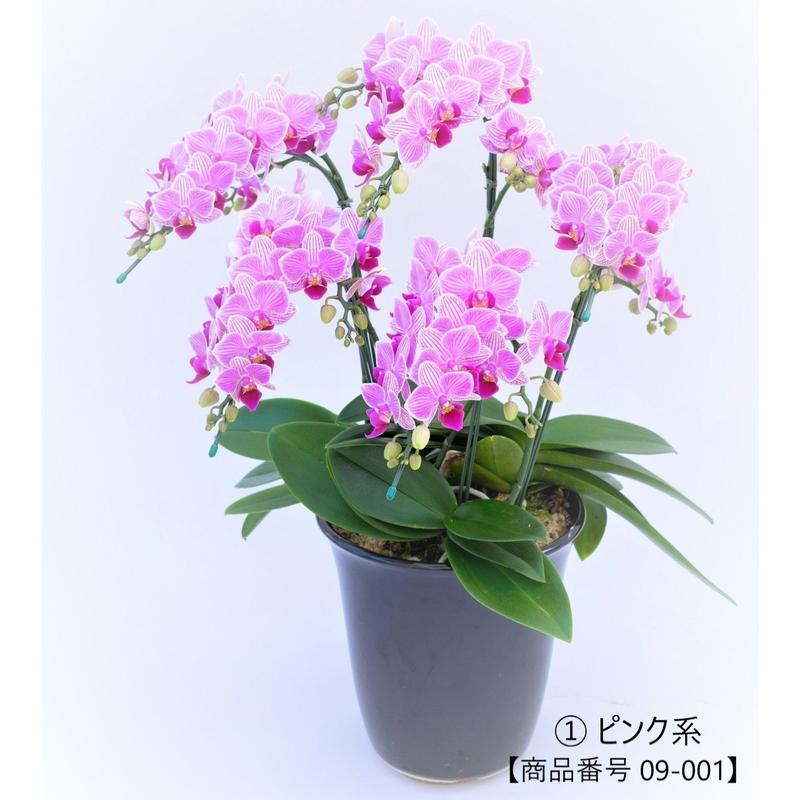 【小輪系】ミディ胡蝶蘭5本立て     =ピンク系=
