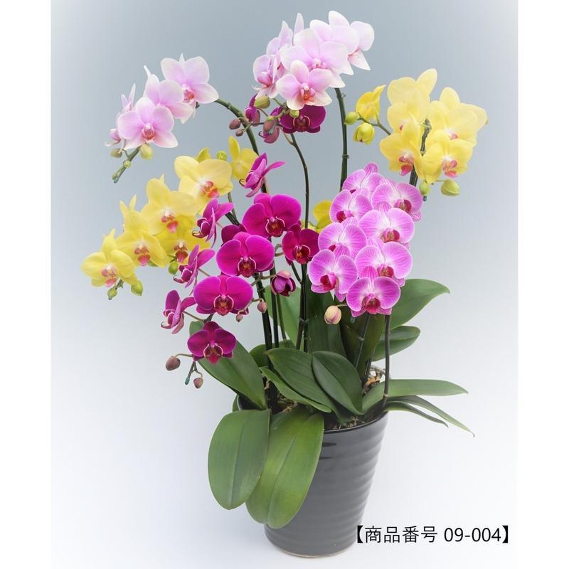 【小輪系】ミディ胡蝶蘭5本立て     =ミックスカラー=