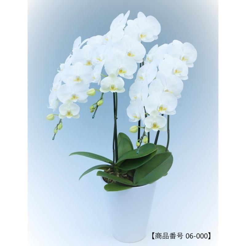 【中輪系】ミディ胡蝶蘭 3本立て     =ホワイト=