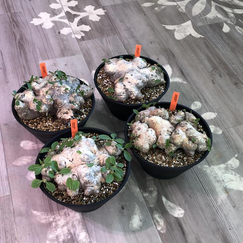 packypodium  brevicaule《恵比寿笑い》L size
