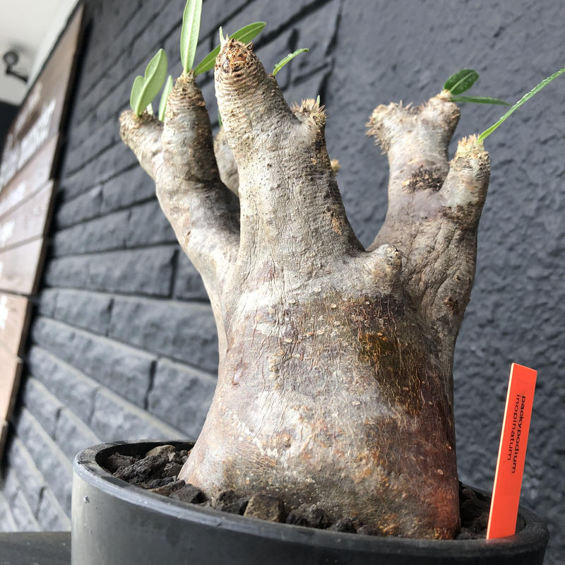 packypodium    inopinatum《L  size》