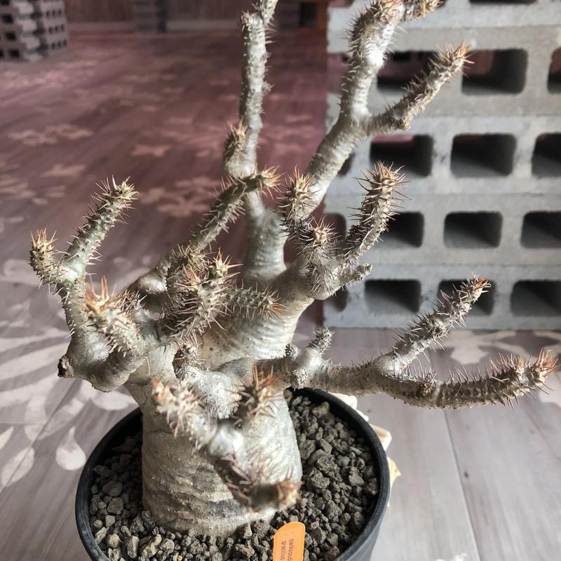 packypodium   gracilius