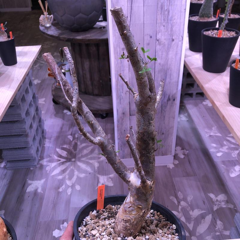 commiphora   humbertii《 L size》