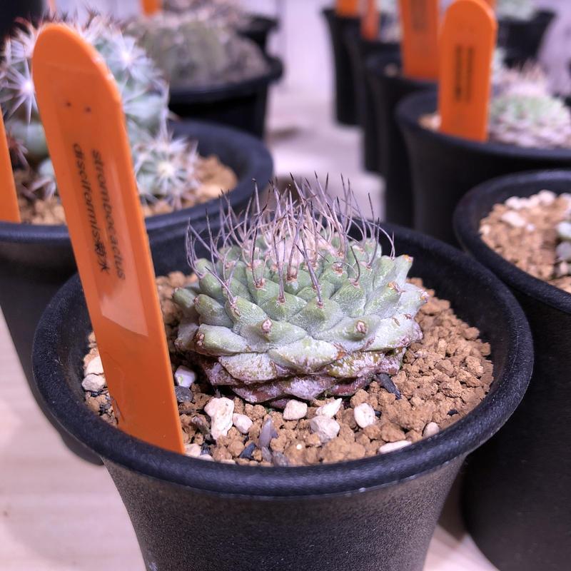 stronbo cactus  菊水(S size)