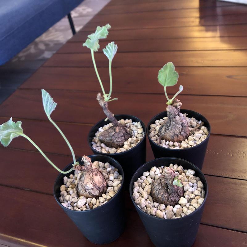 pelargonium   triste《S  size》