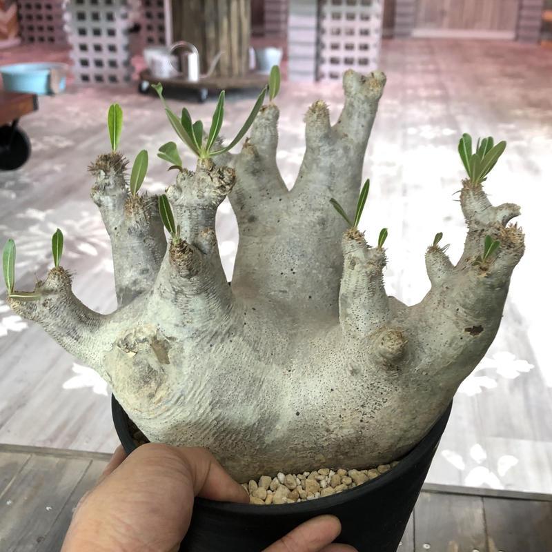 packypodium   inopinatum《L size》発根済み株