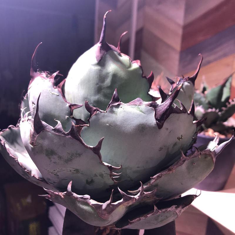 agave     titanota    black&blue《B.B》M size