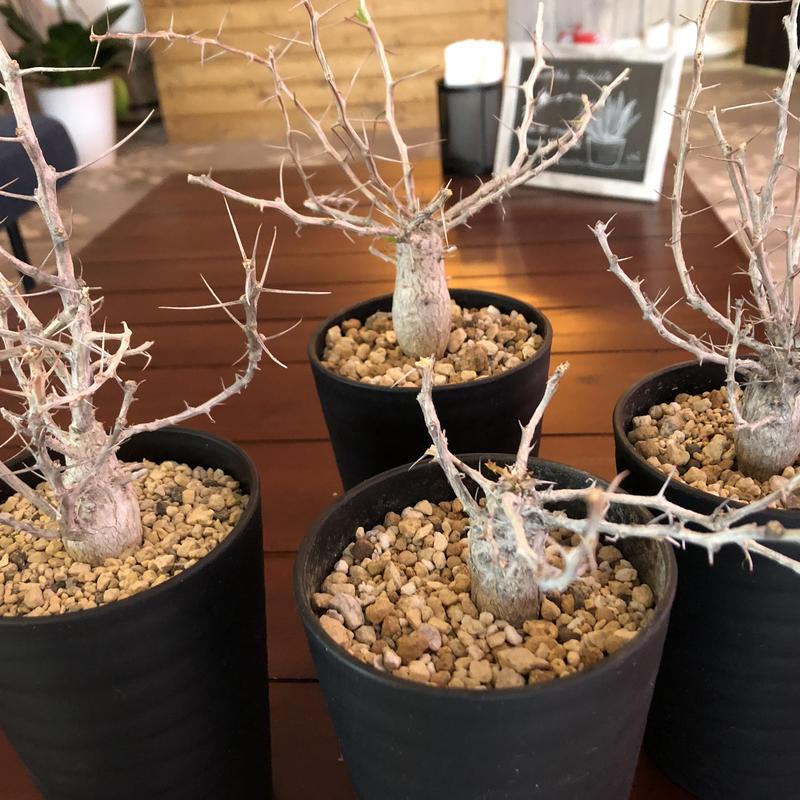 fouquieria    columnaris《観峰玉》S size