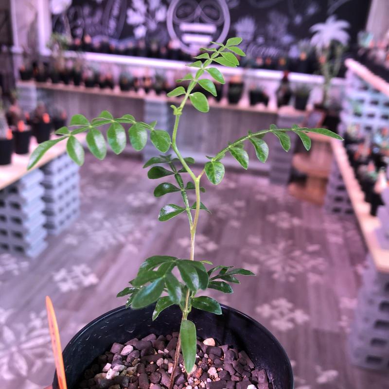 opercullicarya  pachypus《実生一年半株》