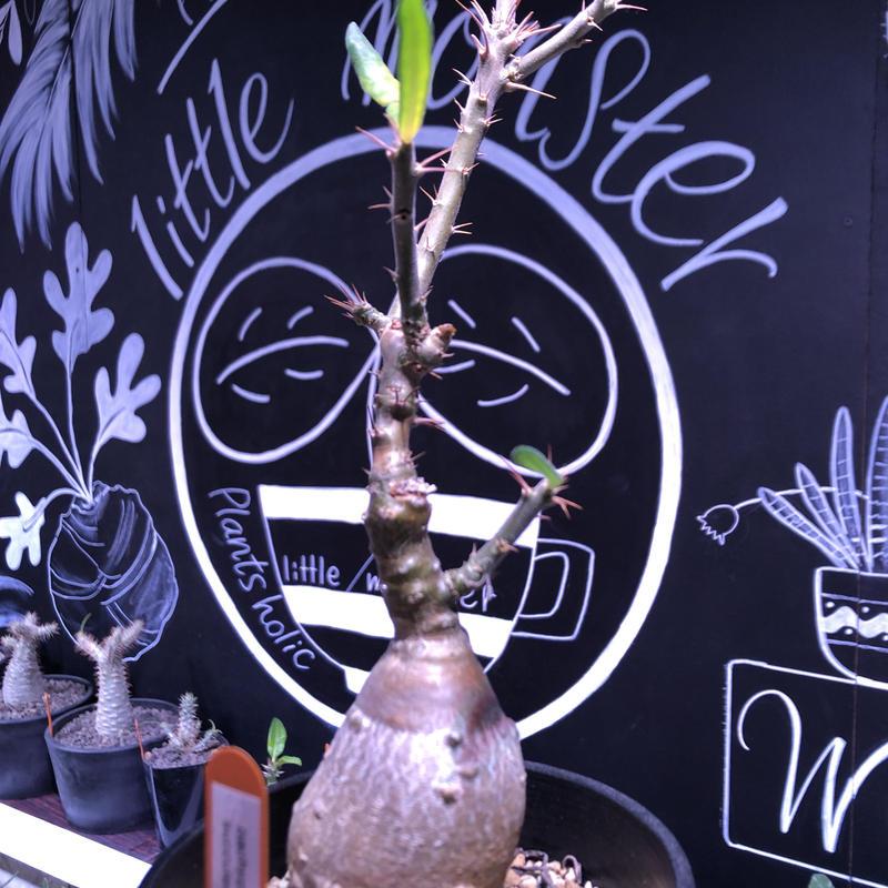 packypodium  succulentum