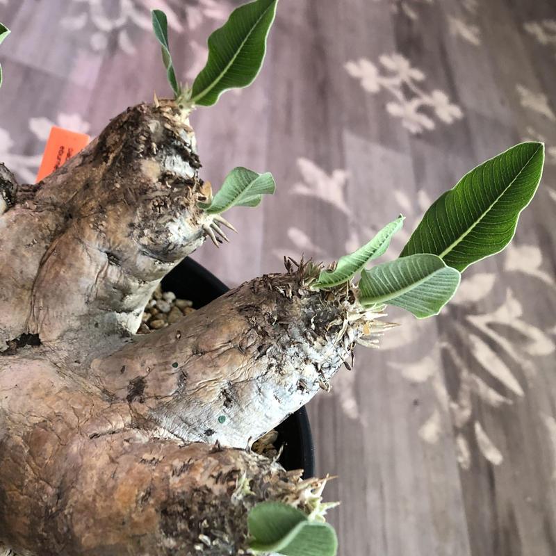 packypodium    roslatum var. eburneum(L size)