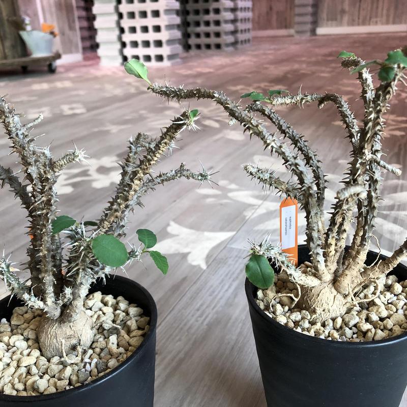euphorbia    sakarahaensis《M size》