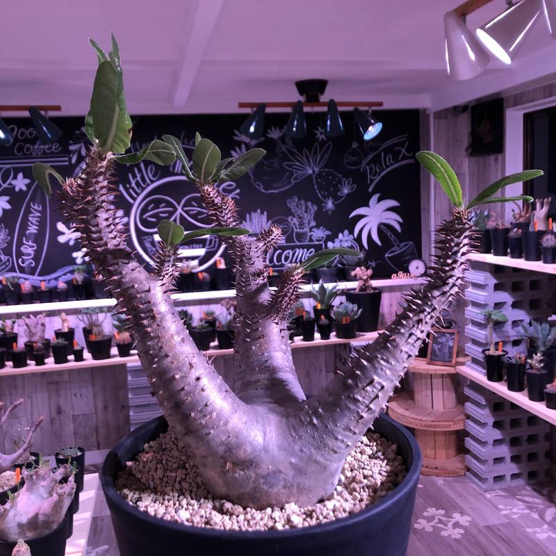 packypodium  roslatum  var.horombense《L L size》※発根済み株