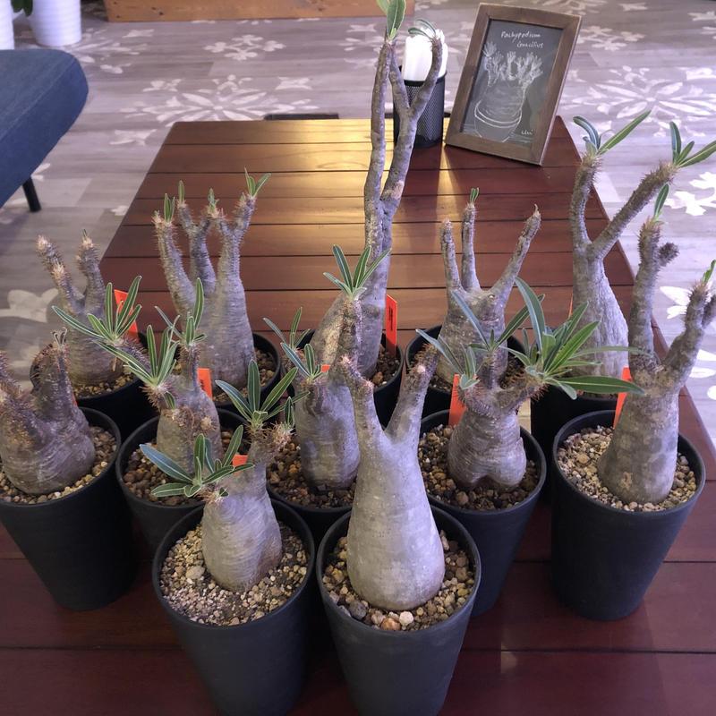 packypodium  gracilius(S size)