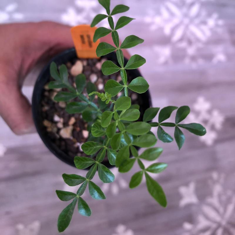 opercullicarya   packypus《実生1年半株》