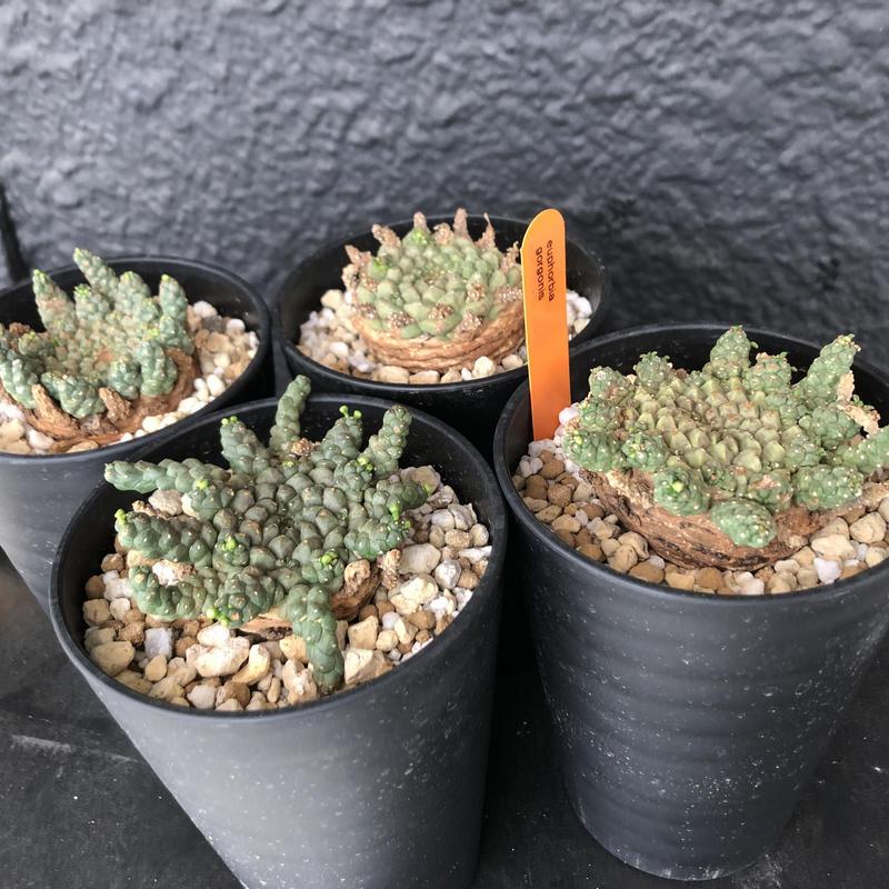 euphorbia     gorgonis《M size》