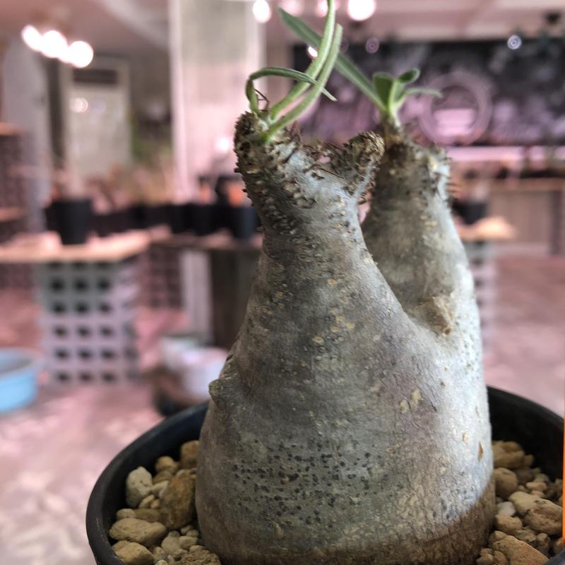 packypodium   roslatum  var.  cactipes《S size》現地球  未発根株