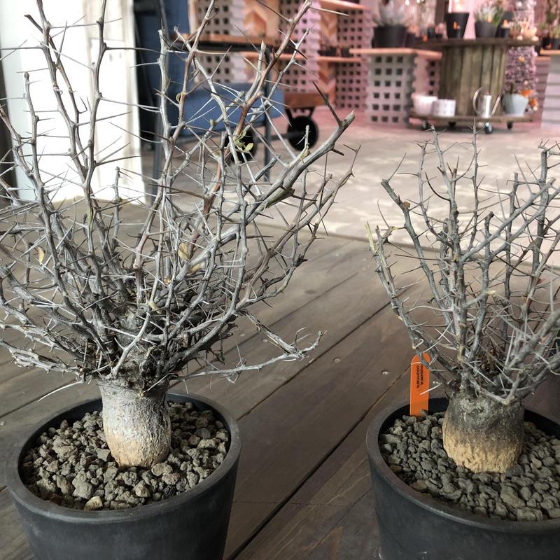 fouquieria   columnaris(M   size)