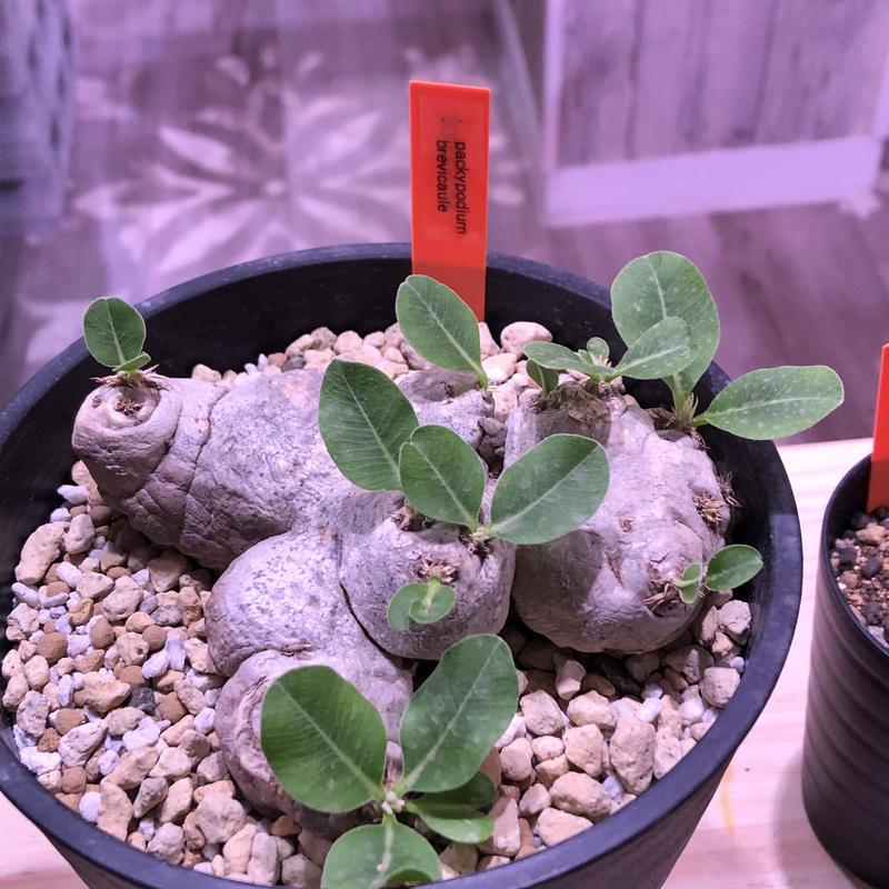 packypodium  brevicaule(恵比寿笑い)M  size‼︎