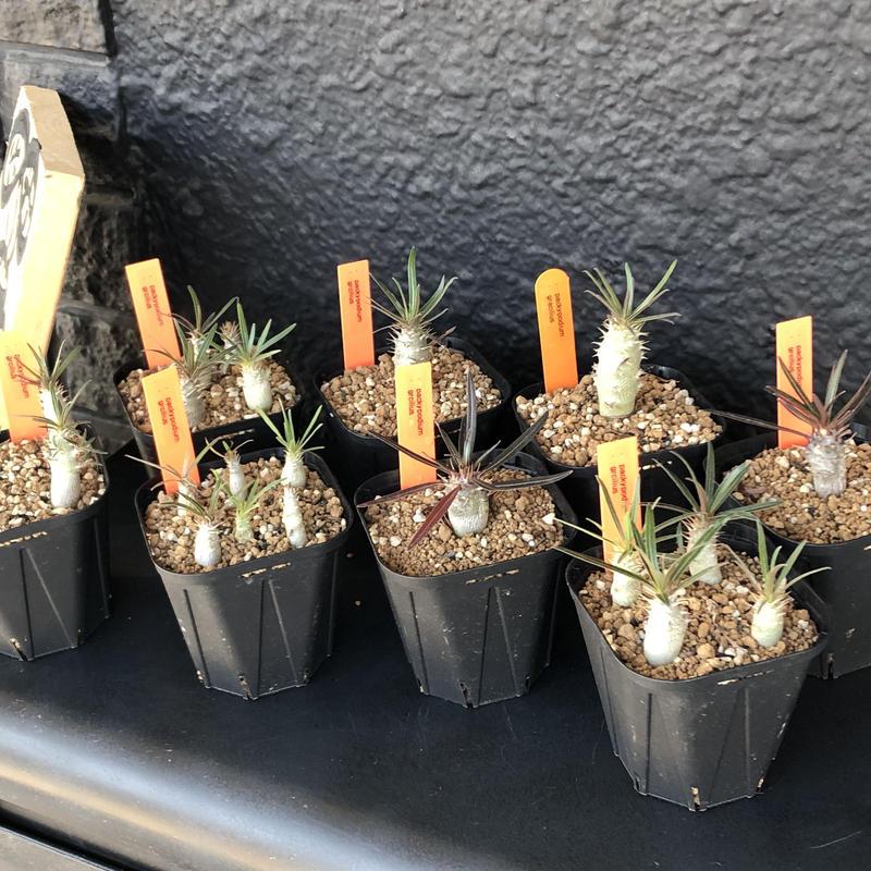 packypodium   gracilius   リトモン seed《2個セット》