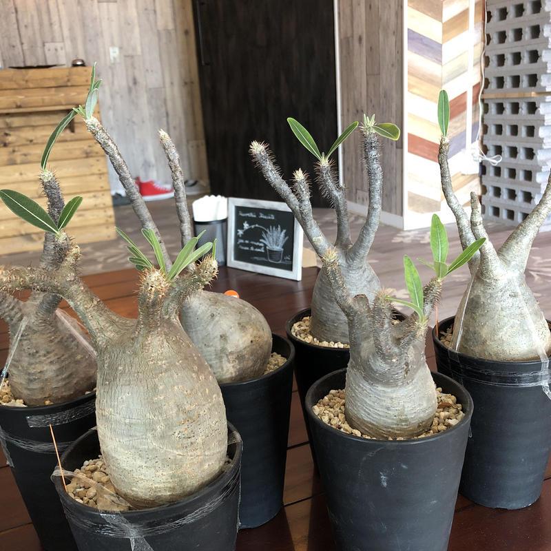 packypodium   gracilius(M size)
